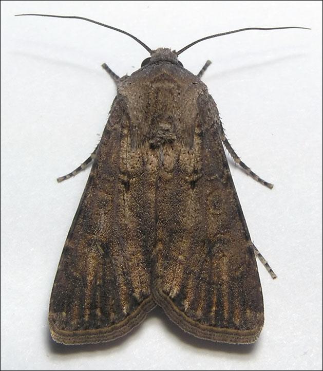 http://www.funet.fi/pub/sci/bio/life/insecta/lepidoptera/ditrysia/noctuoidea/noctuidae/noctuinae/agrotis/segetum-2f.jpg