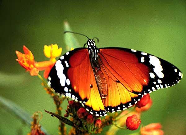 http://www.funet.fi/pub/sci/bio/life/insecta/lepidoptera/ditrysia/papilionoidea/nymphalidae/danainae/danaus/chrysippus-3u.jpg