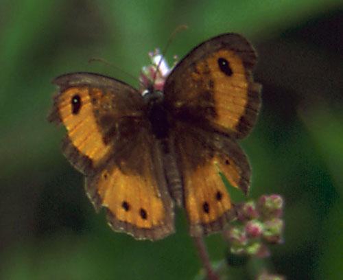Pyronia