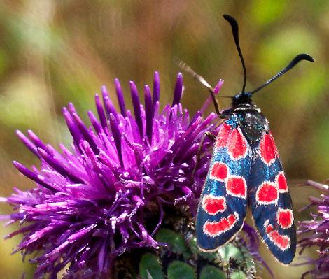 Как выглядит бабочка пестрянка фото, личинки бабочки пестрянки.